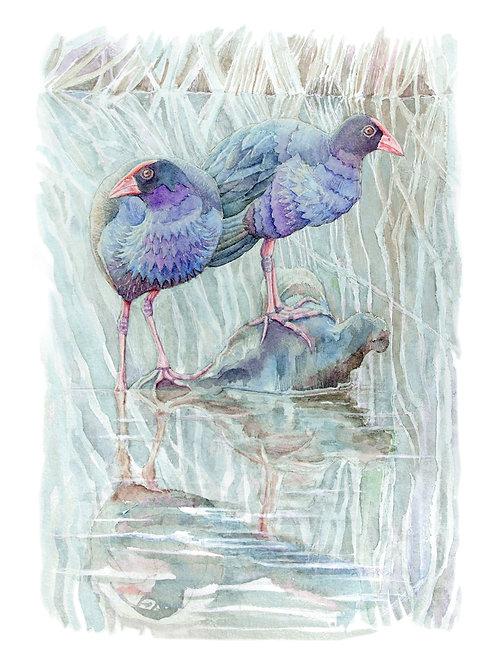Purple Swamphens - Giclée Art Print