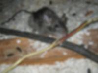 rat005.jpg