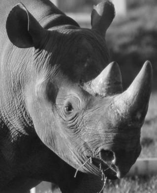 Monochrome rhino.jpg