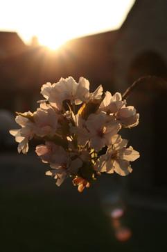 Flowering Cherry 2.jpg