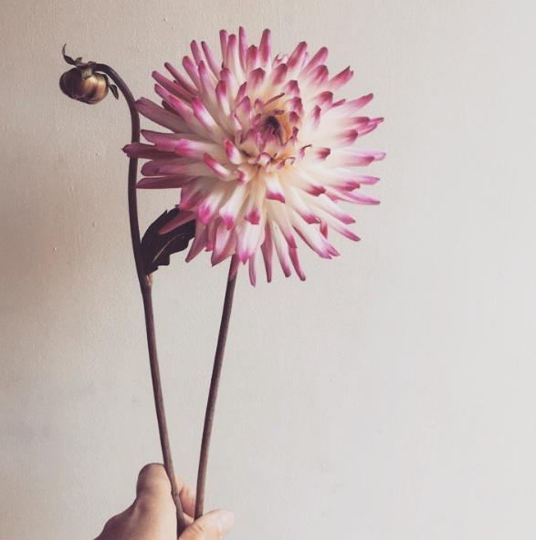 Pink Dahlia Wedding Flower