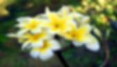flor tiare.jpg