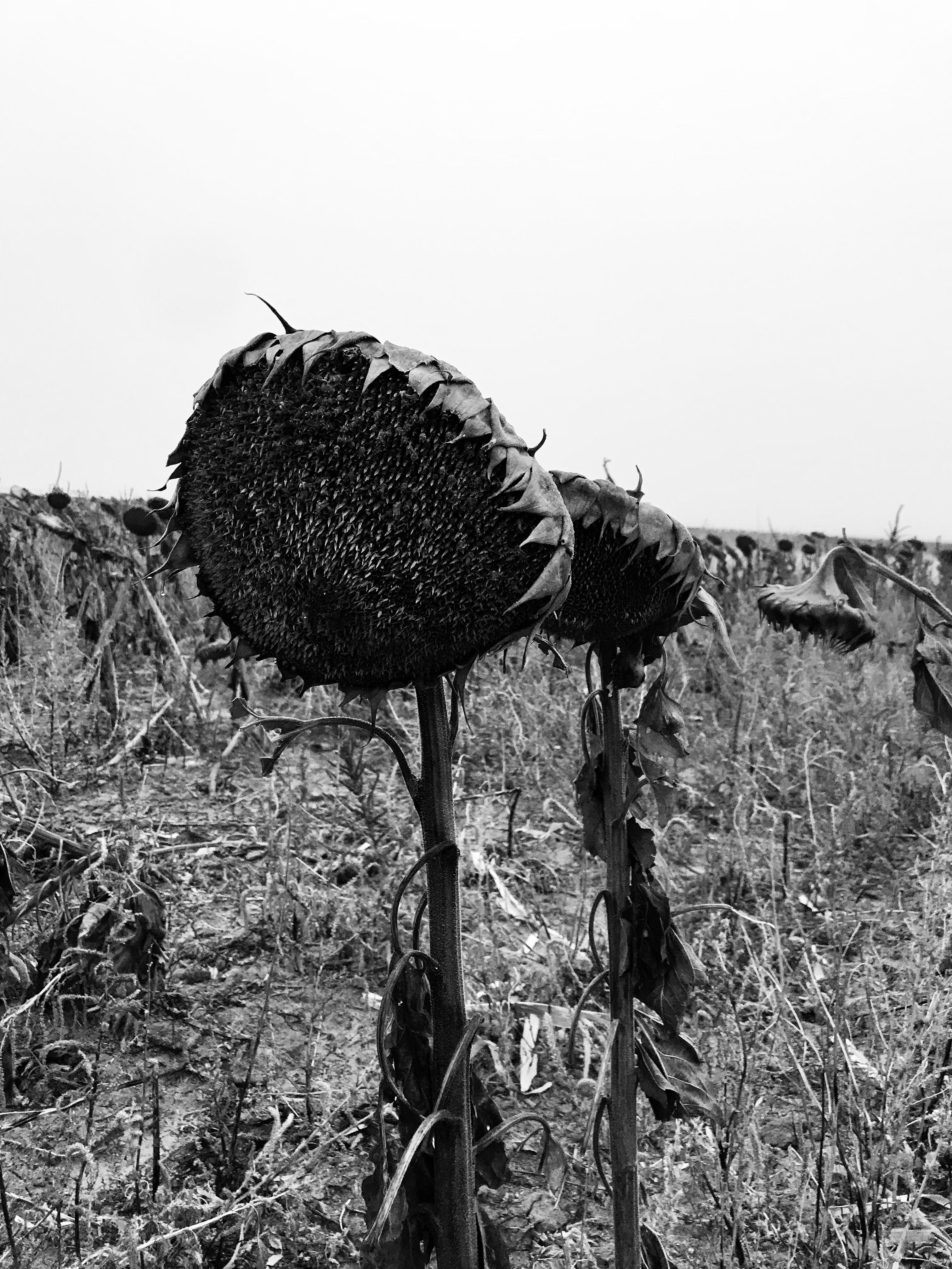 Hunting Sunflower