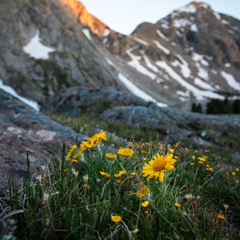 Alpine Sunflower