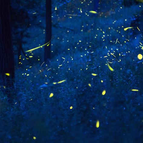 Photuris Fireflies