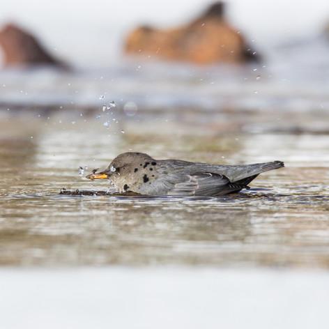 American dipper (Water ouzel)