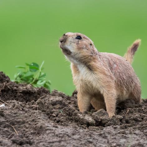Black-tailed prairie dog 1