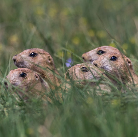 Black-tailed prairie dog 2