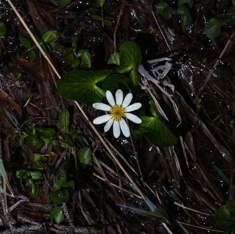 White Marsh-merigold (Elks-lip) 1
