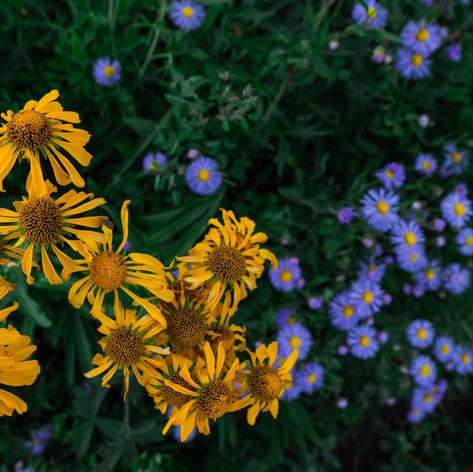Aspen Sunflower 1