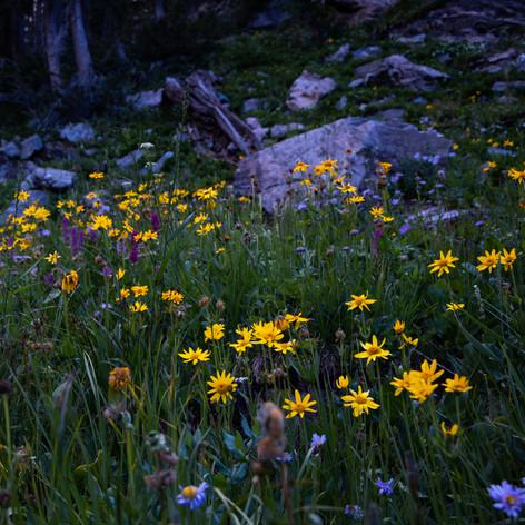 Aspen Sunflower 2