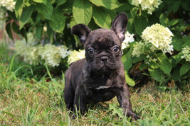 LuLu french bulldog for sale in Kansas City (2).JPG