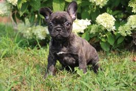 LuLu french bulldog for sale in Kansas City (8).JPG