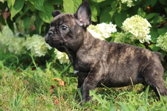 LuLu french bulldog for sale in Kansas City (3).JPG