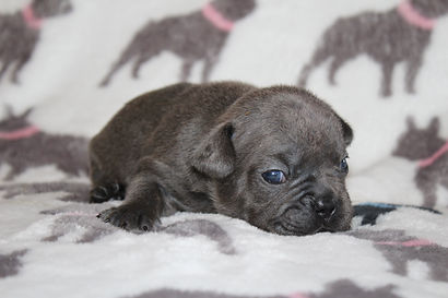 Max french bulldog for sale puppy