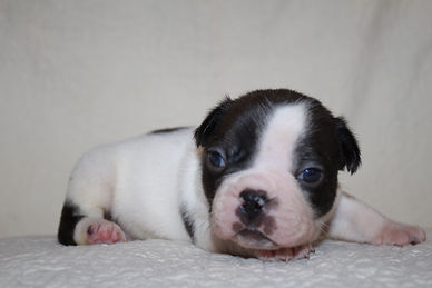 Remy  French Bulldog Puppy For Sale in K