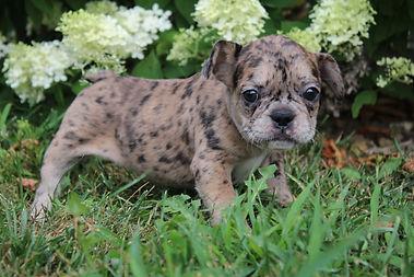 Maebell french bulldog puppy for sale kansas city (7).JPG