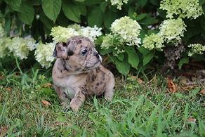 Maebell french bulldog puppy for sale kansas city (6).JPG