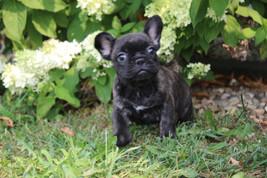 LuLu french bulldog for sale in Kansas City (15).JPG