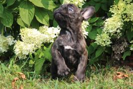 LuLu french bulldog for sale in Kansas City (18).JPG