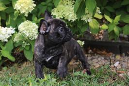 LuLu french bulldog for sale in Kansas City (11).JPG