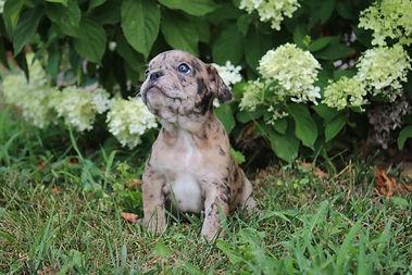 Maebell french bulldog puppy for sale kansas city (5).JPG