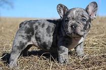 Arabelle gaugersfrenchies french bulldog