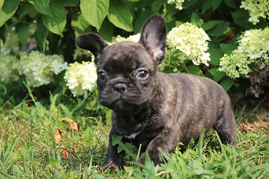 LuLu french bulldog for sale in Kansas City (4).JPG