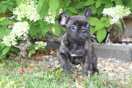 LuLu french bulldog for sale in Kansas City (9).JPG