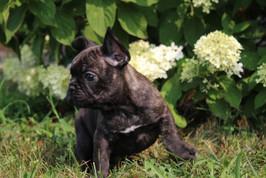 LuLu french bulldog for sale in Kansas City (20).JPG