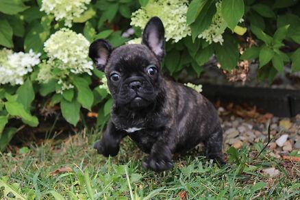 LuLu french bulldog for sale in Kansas City (13).JPG