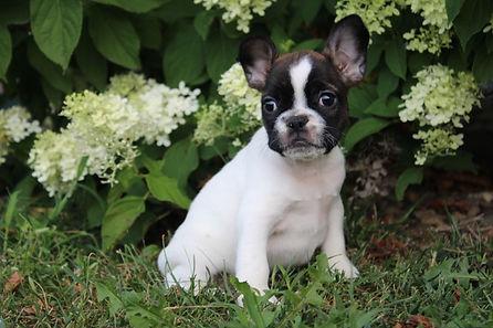 Angel French bulldog for sale in Kansas City (10).JPG