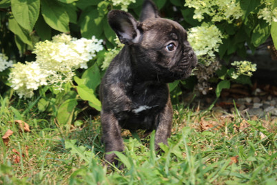 LuLu french bulldog for sale in Kansas City (5).JPG