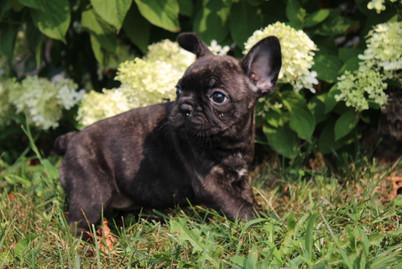 LuLu french bulldog for sale in Kansas City (19).JPG
