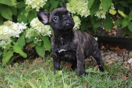 LuLu french bulldog for sale in Kansas City (10).JPG