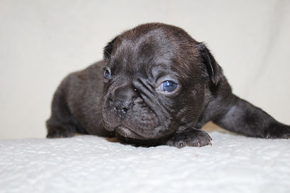 Bentley French Bulldog Puppy For Sale in