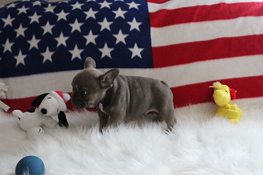 Max French Bulldog puppies for sale near
