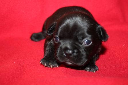 Adele French Bulldog Puppy For Sale Kansas City (3).JPG