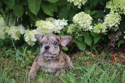 Maebell french bulldog puppy for sale kansas city (1).JPG