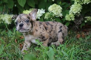 Maebell french bulldog puppy for sale kansas city (13).JPG