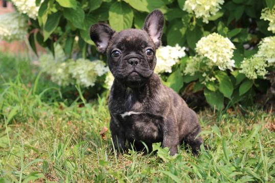 LuLu french bulldog for sale in Kansas City (7).JPG