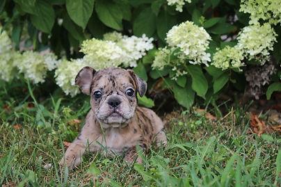 Maebell french bulldog puppy for sale kansas city (2).JPG
