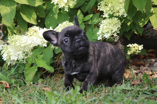 LuLu french bulldog for sale in Kansas City (16).JPG