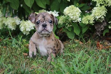 Maebell french bulldog puppy for sale kansas city (3).JPG