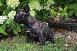 LuLu french bulldog for sale in Kansas City (12).JPG