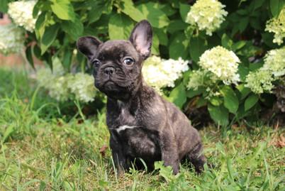 LuLu french bulldog for sale in Kansas City (6).JPG