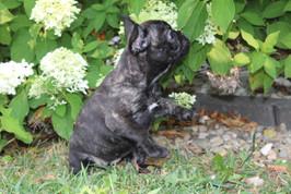 LuLu french bulldog for sale in Kansas City (14).JPG