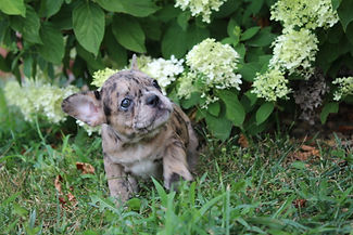 Maebell french bulldog puppy for sale kansas city (16).JPG