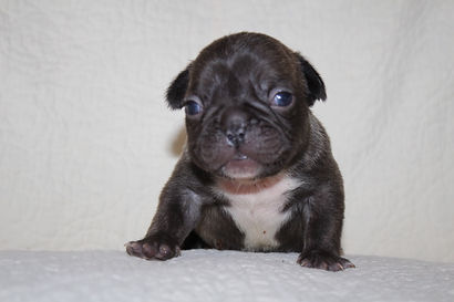 Boomer  French Bulldog Puppy For Sale in
