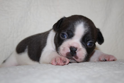 Cooper  French Bulldog Puppy For Sale in